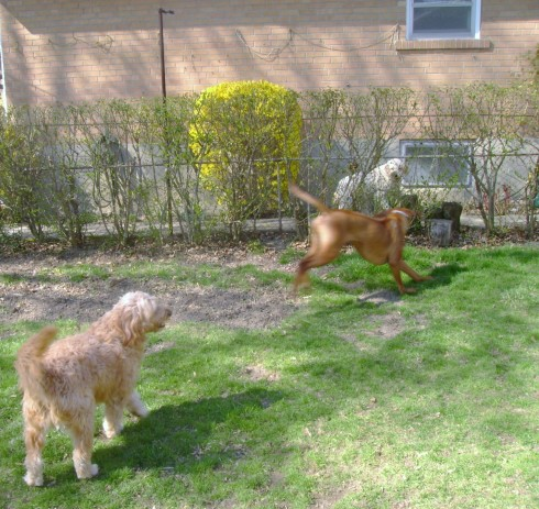 Seamus showing Zander his big giant yard!