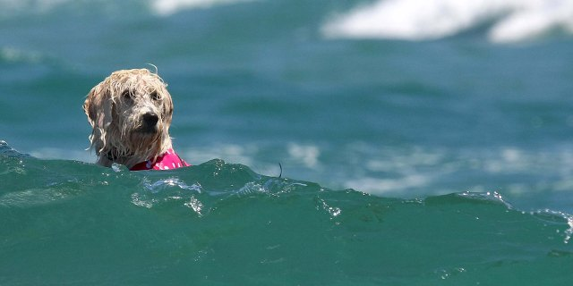 A dog navigates the surf during the competition.