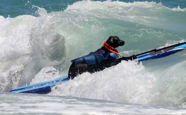 Gator surfs in the medium sized dog division.