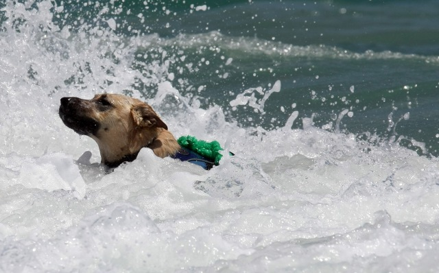 A dog enjoys the rough surf.