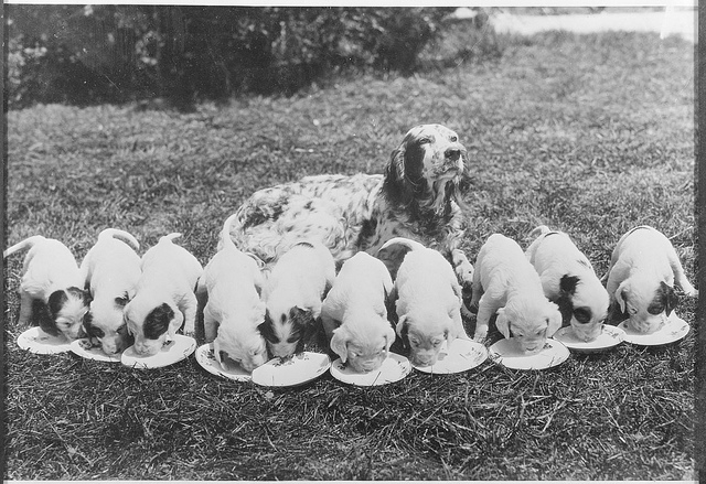 1931-05-02: Dogland dinner - spotted English setter, mother and young