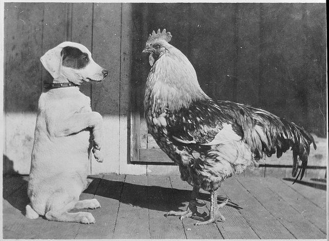 1917 - 1934: Dog and rooster are pals. A humble terrier and a naughty rooster.