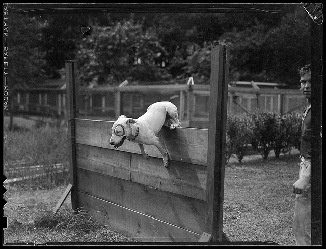1937- Dog Jumping Hurdle