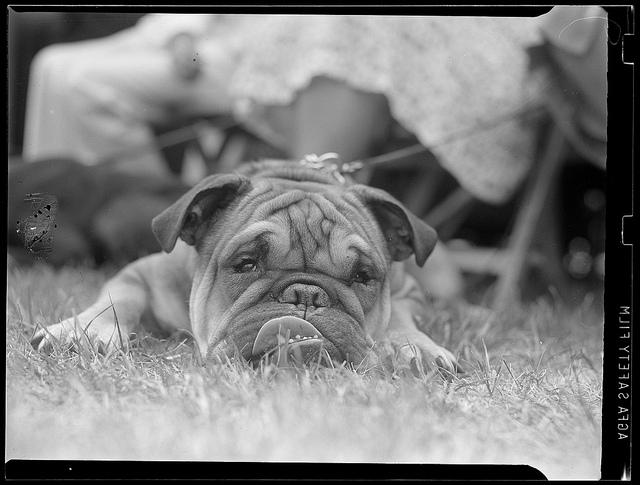 1934 - 1956: Bulldog