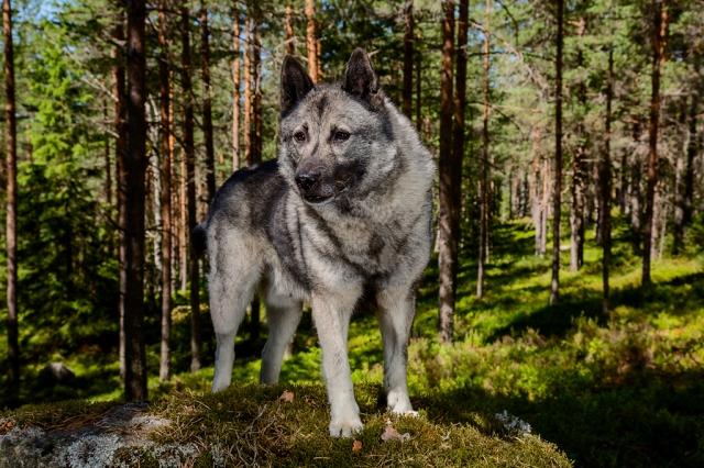 Viki of Skjatvet, Grey Norwegian Elkhound, 2013