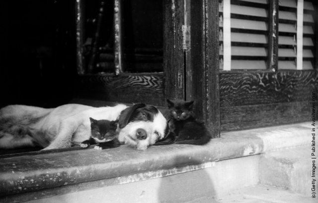 Two kittens and a sleepy dog. (Photo by Fox PhotosGetty Images) May 1929
