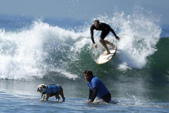 A dog competes in the Surf City surf dog competition in Huntington Beach, California, September 29, 2013. REUTERS/Lucy Nicholson