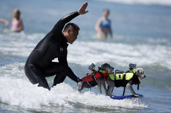 A man surfs with two dogs on his board during the Surf City surf dog competition in Huntington Beach, California, September 29, 2013. REUTERS/Lucy Nicholson