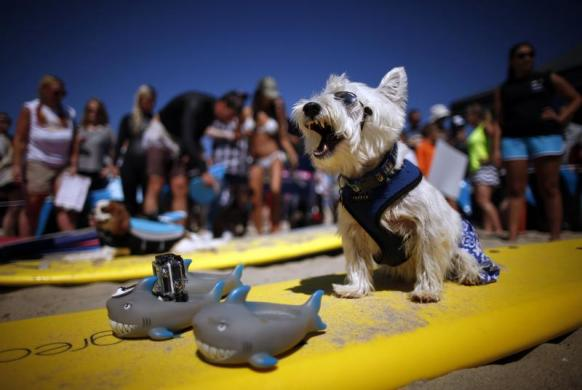 Surf Dog Joey, a West Highland Terrier, yawns as he waits to compete in the Surf City surf dog competition in Huntington Beach, California, September 29, 2013.