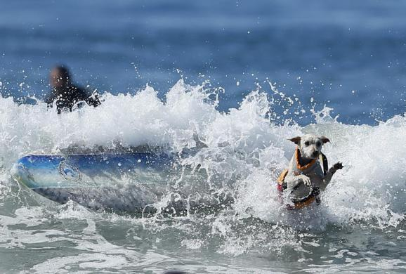 A dog wipes out while competing in the Surf City surf dog competition in Huntington Beach, California, September 29, 2013. REUTERS/Lucy Nicholson