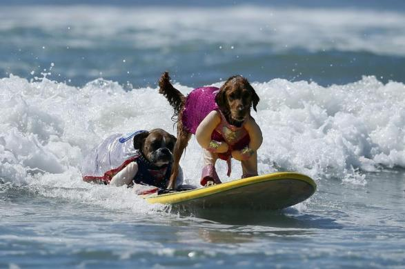 Two dogs in costume share a board during the Surf City surf dog competition in Huntington Beach, California, September 29, 2013. REUTERS/Lucy Nicholson