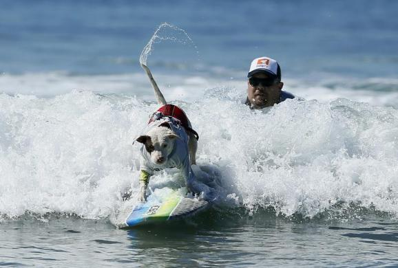 A dog wags its tail as it competes in the Surf City surf dog competition in Huntington Beach, California, September 29, 2013. REUTERS/Lucy Nicholson