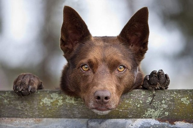 Lucy, an unwanted kelpie from a farm in Queensland, was rescued by Susan Purves. Now in Gisborne as a companion dog on small acerage, she sometimes herds kangaroos in the absence of stock. Photo by Melanie Faith Dove