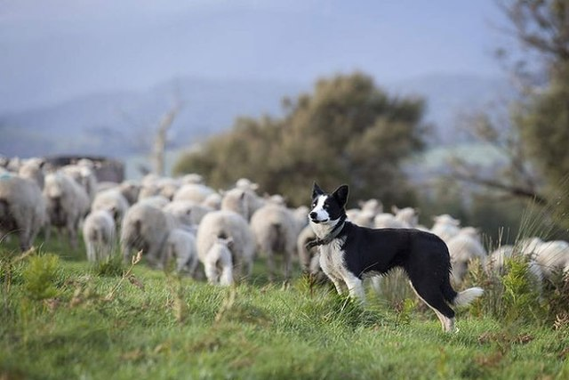 Ebony, the Border Collie owned by the De Pury family of Coldstream. Photo by Melanie Faith Dove