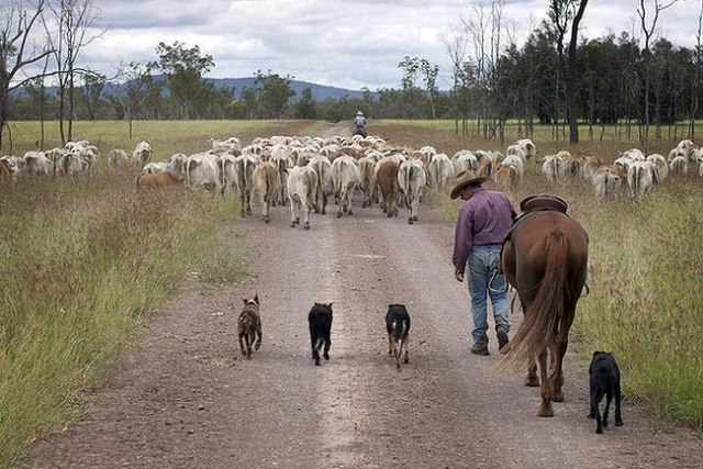 Tony Cock musters thousands of cattle on the station at Theodore, Queensland. The use of dogs has meant the cattle come into the yards more relaxed and he has reduced the man power required to muster the paddock by over half. Photo by Melanie Faith Dove