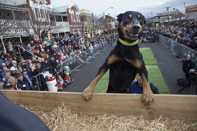 Pictured is Mack with Tony Willson doing the Kelpie High Jump which draws hundreds of spectators and news crews to the main street of Casterton every year. Photo by Melanie Faith Dove