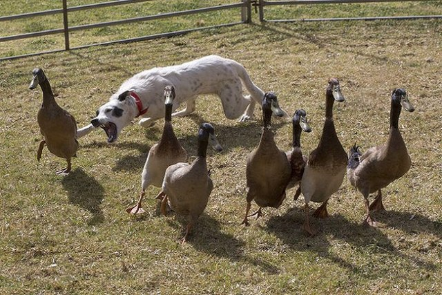 Six year old Border Collie, Rach, learning to herd ducks at the Hay Show. Photo by Andrew Chapman