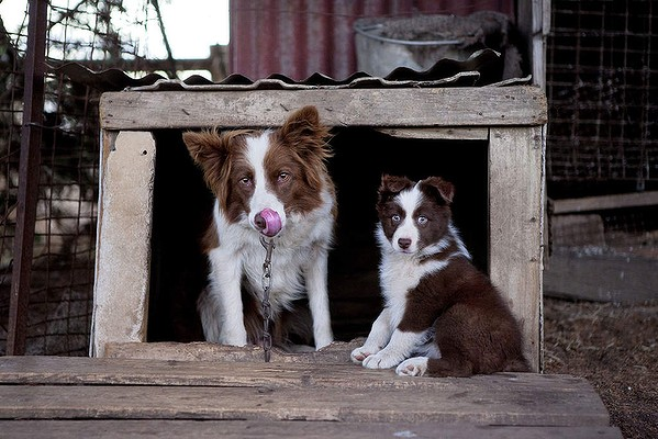 Chocolate or Red Border Collies, Floss and Pepper pup at Vin Stapleton's Bushfield Property, February 2013. Photo by Melanie Faith Dove