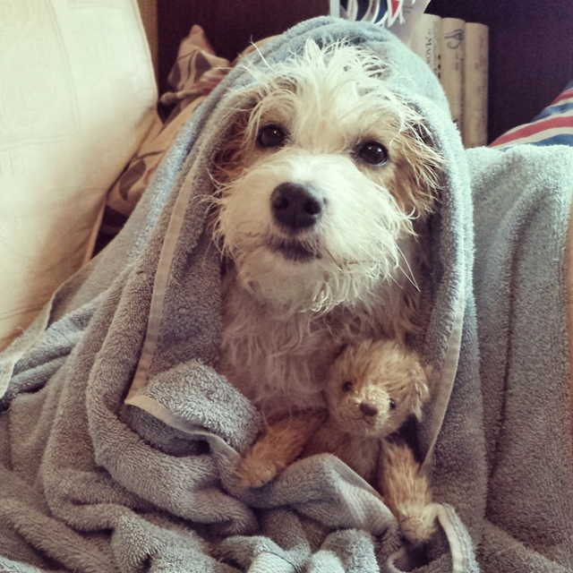 """I think it may take more than a warm towel and a snuggle with her teddy to cheer Ginny up after I took her for a walk in the rain again. She's considering digging to Hawaii now so she can enjoy a bacontini on the beach."""