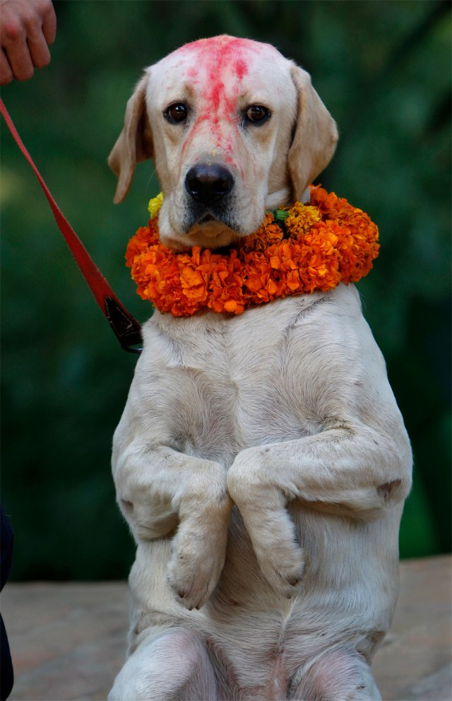 A Nepalese police dog with vermilion on the forehead and garland in his neck greets a photographer during Tihar festival at a police kennel division in Katmandu, Nepal, Saturday, October 17, 2009. (Photo by Gemunu Amarasinghe/AP Photo)