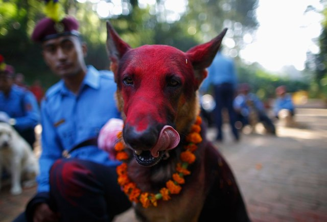 A police dog licks its face after receiving food during the dog festival, as part of celebrations of Tihar at Nepal Police Academy in Kathmandu October 22, 2014. Hindus all over Nepal are celebrating the Tihar festival, also called Diwali, during which they worship cows, which are considered a maternal figure, and other animals. Also known as the festival of lights, devotees also worship the goddess of wealth Laxmi by illuminating and decorating their homes using garlands, oil lamps, candles and colourful light bulbs. (Photo by Navesh Chitrakar/Reuters)