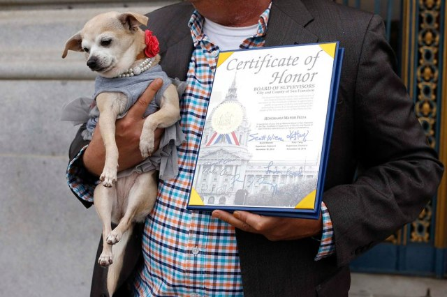 """Frida, a female Chihuahua, is shown next to a special commendation issued by the San Francisco Board of Supervisors naming Frida """"Mayor of San Francisco for a Day"""" in San Francisco, California November 18, 2014. (Photo by Stephen Lam/Reuters)"""