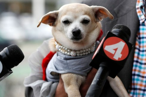 "Microphones are seen in front of Frida, a female Chihuahua, after the San Francisco Board of Supervisors issued a special commendation naming Frida ""Mayor of San Francisco for a Day"" in San Francisco, California November 18, 2014. (Photo by Stephen Lam/Reuters)"