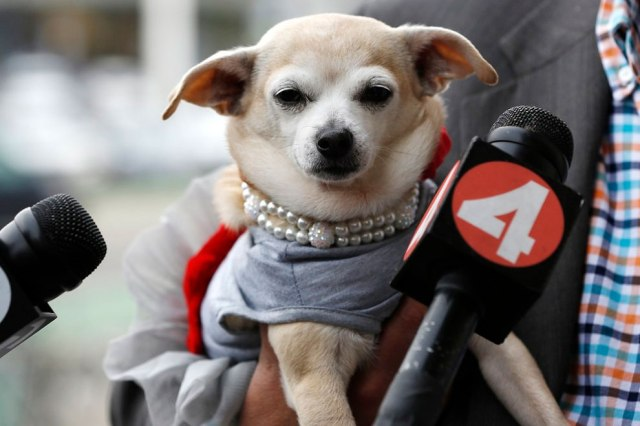 """Microphones are seen in front of Frida, a female Chihuahua, after the San Francisco Board of Supervisors issued a special commendation naming Frida """"Mayor of San Francisco for a Day"""" in San Francisco, California November 18, 2014. (Photo by Stephen Lam/Reuters)"""