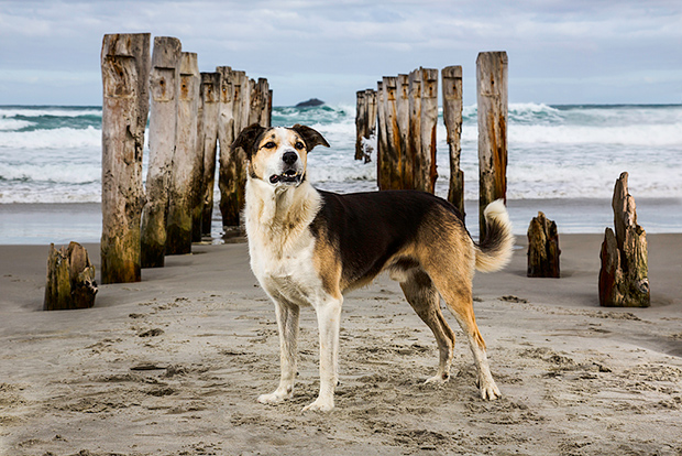 Finbar of Dunedin, Search and Rescue Dog, 2014