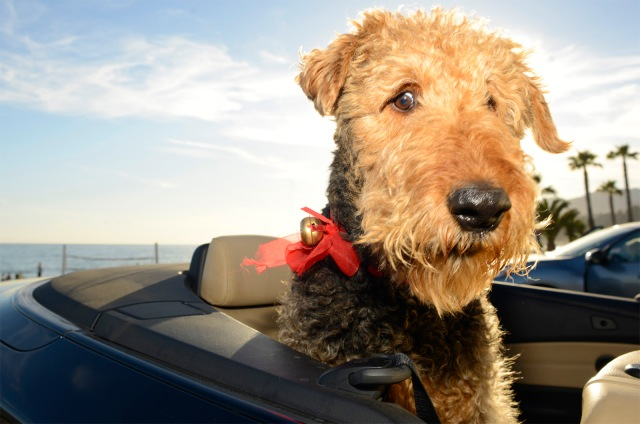 Ernie, age 7, Airedale Terrier in a 2008 125i BMW Convertible.