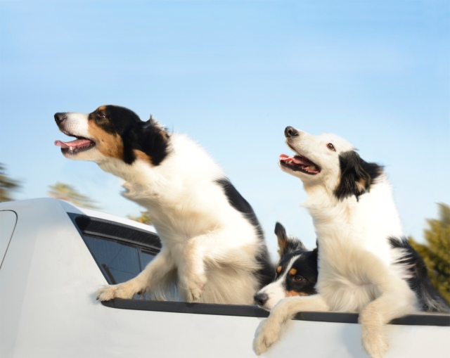 Indy, Brody, and Jack, ages 13, 1, and 6, Australian Shepherds in a 2006 Honda Ridgeline.