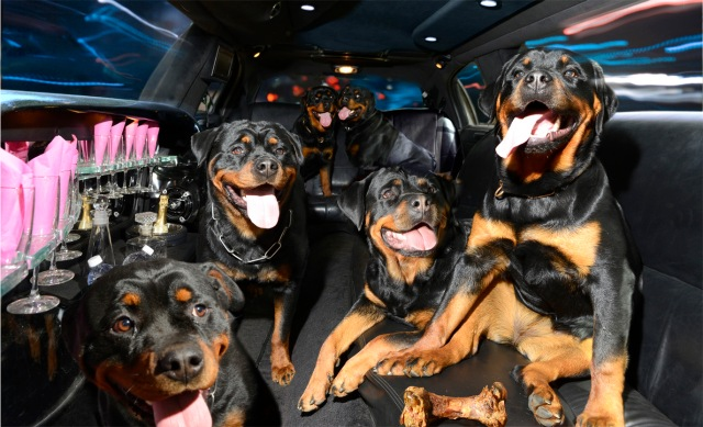 Rottweilers, ages 7 months to 5 years in a 2007 Lincoln limo.