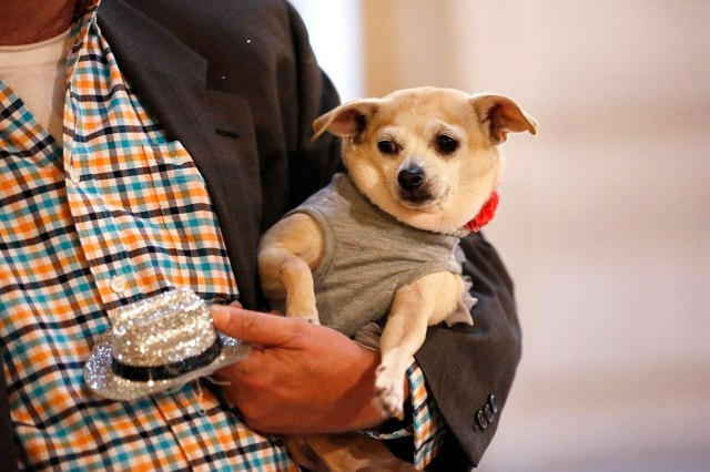 """Frida, a female Chihuahua, is carried by her owner Dean Clark in City Hall before the San Francisco Board of Supervisors issues a special commendation naming Frida """"Mayor of San Francisco for a Day"""" in San Francisco, California November 18, 2014. Frida, a previously unknown female Chihuahua, has won her first political office, being named Mayor of San Francisco for the day as part of a campaign to support the city's animal shelter. (Photo by Stephen Lam/Reuters)"""