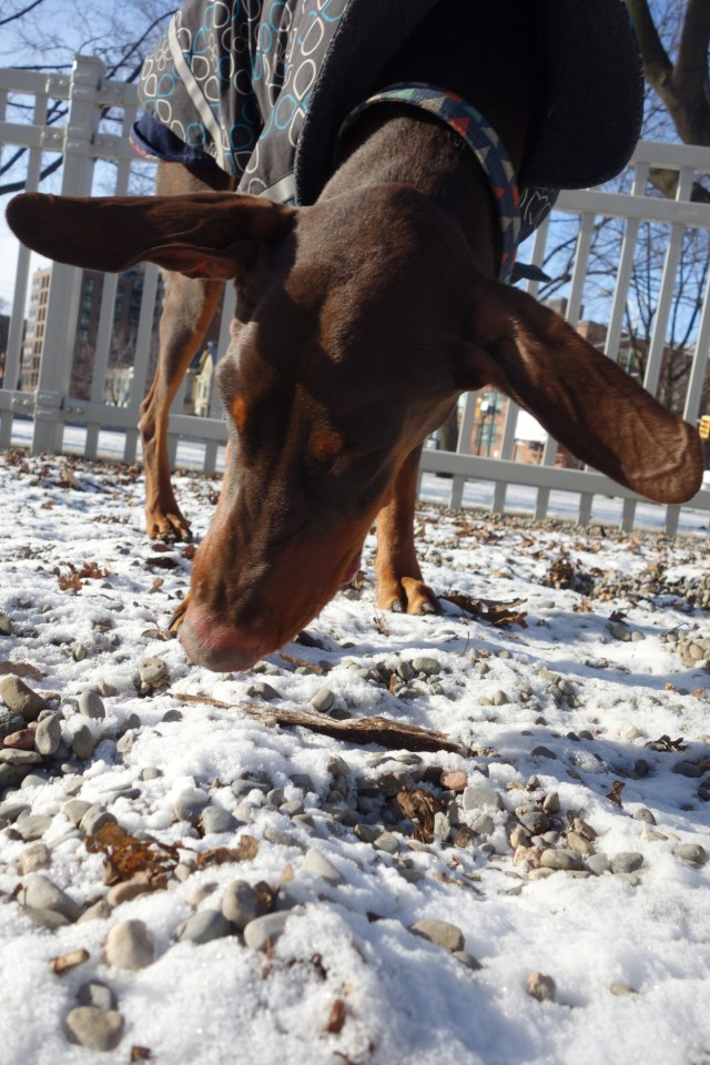 Duke showing us the full wingspan of his ears, checking out a frozen stick.