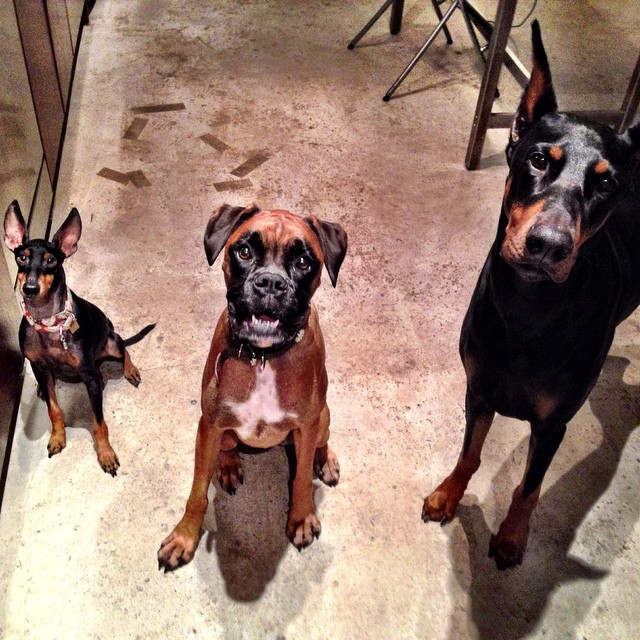 Manchester Terrier, Boxer & Doberman: All Friends - October 2014