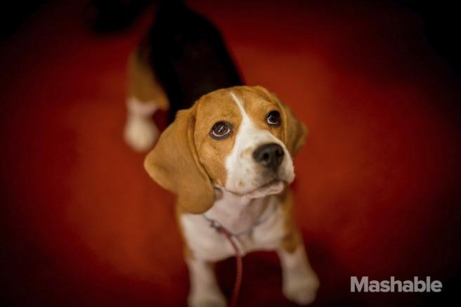 5. Beagle