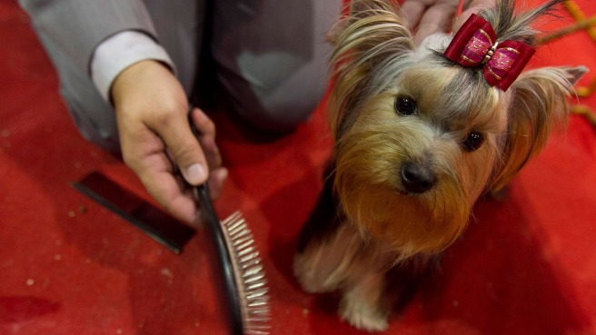 6. Yorkshire Terrier