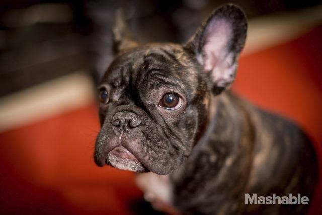 9. French Bulldog