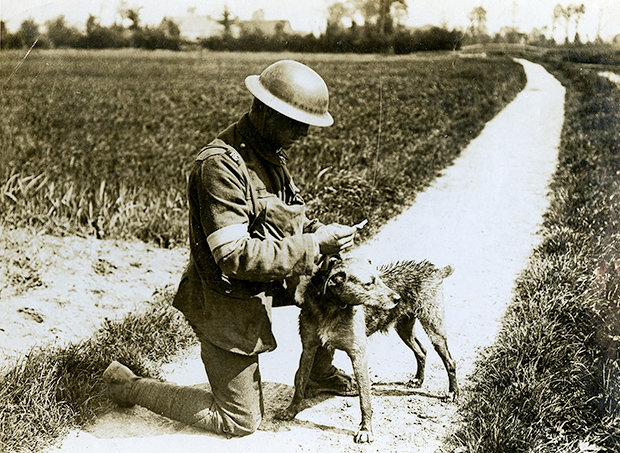 A British messenger dog in France during the First World War, 19 May 1918