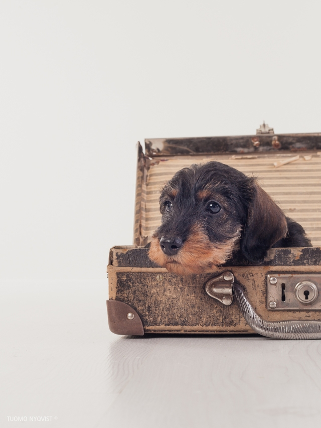 Wirehaired Duchshund puppies