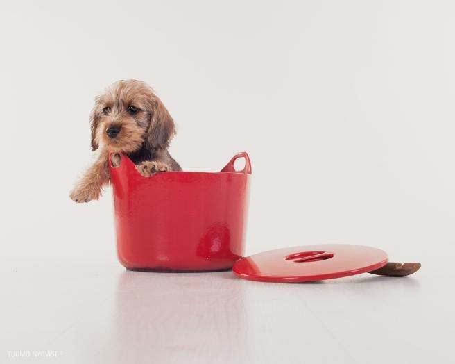 Wirehaired Duchshund puppies