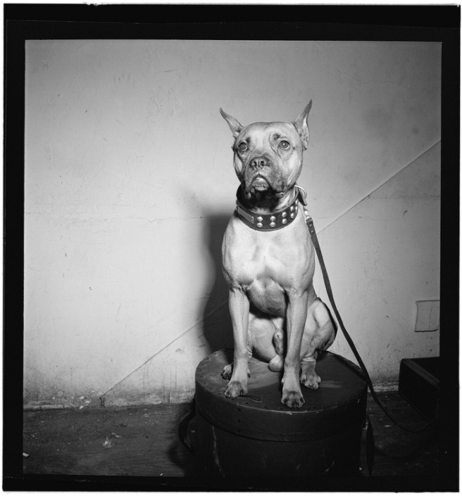 Portrait of Mister (Billie Holiday's dog), New York, ca. 1946 – 1948. Photo by William P. Gottlieb