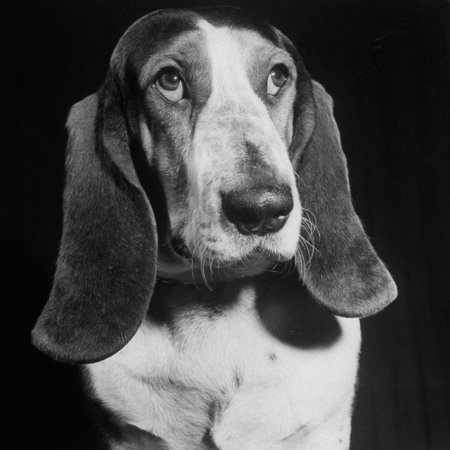 TV star dog J. J. Morgan posing for a Life picture. (Photo by Walter Sanders/The LIFE Picture Collection/Getty Images)