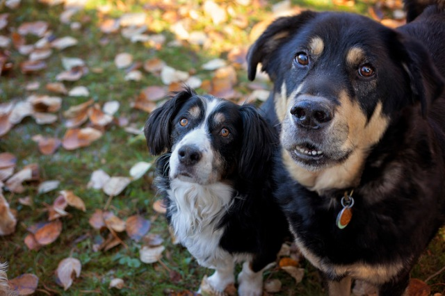 """Old Dog Haven provides 'final refuge' foster homes to about 280 dogs while covering the costs of all their medical care and prescription diets. Foster families get to care for calm, content pets—sometimes for several years—without ever having to worry about a single vet bill. (Copyright Lori Fusaro / """"My Old Dog"""")"""