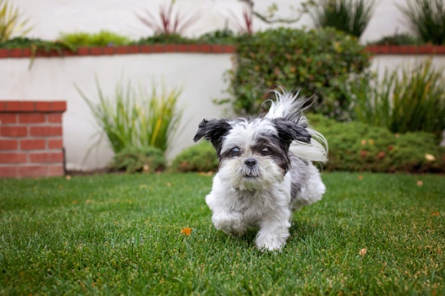 """Maddie, a tiny shih tzu rescued as a senior, helped a 75-year-old widow overcome depression and anxiety. (Copyright Lori Fusaro / """"My Old Dog"""")"""