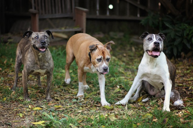 """Gabby (far left), Duval (center), and Sunny (far right) became the best of friends in their later years. Duval and Sunny were adopted as seniors and both dogs thrived in their new, loving homes. (Copyright Lori Fusaro / """"My Old Dog"""")"""