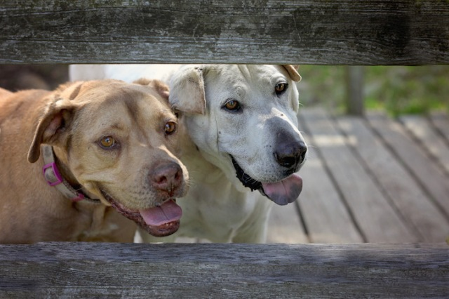 """Senior dogs Flopsy and Sebastian were rescued from neglect in a backyard. Despite their arthritis, they still love to play, chase squirrels, and frolic in parks. (Copyright Lori Fusaro / """"My Old Dog"""")"""