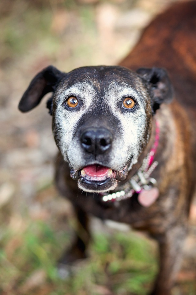 """When Fiona arrived at a Southern California shelter at age 15, she could barely walk. Shelter staff took a liking to her, and they wheeled her around in a red wagon to prevent her from having to exert herself. Fiona got adopted by a woman who gave her home-cooked meals and a soft bed, and before long, the dog regained her mobility. (Copyright Lori Fusaro / """"My Old Dog"""")"""