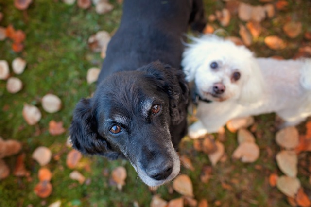 """Old Dog Haven co-founders Lee and Judith Piper used to describe what they and other Old Dog Haven volunteers did as hospice work. They've since rephrased that for the sake of accuracy. """"Now I call it 'assisted living,'"""" Judith Piper says in My Old Dog. (Copyright Lori Fusaro / """"My Old Dog"""")"""