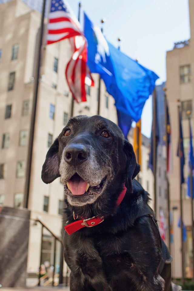 """Chaney, a retired military working dog, trekked thousands of miles and sniffed out explosives during multiple tours in Iraq and Afghanistan. In 2010 and 2011, Chaney's handler was U.S. Marine Corps Corporal Matt Hatala. (Copyright Lori Fusaro / """"My Old Dog"""")"""